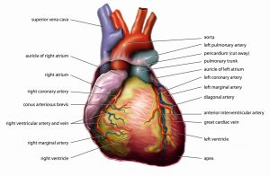 organ of circulatory system and function