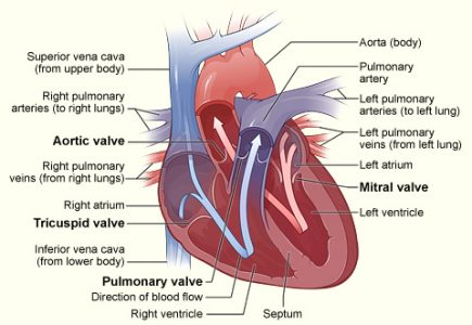 heart valves function