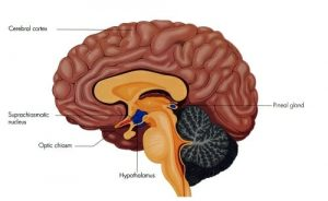 pineal gland function