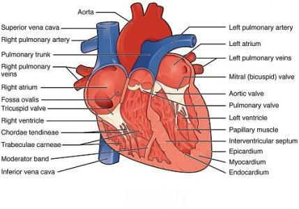 Main function of the heart