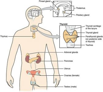 endocrine system functions