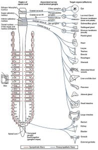 Parasympathetic nervous system function