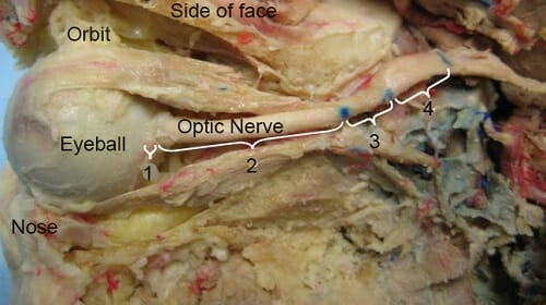 Optic nerve function