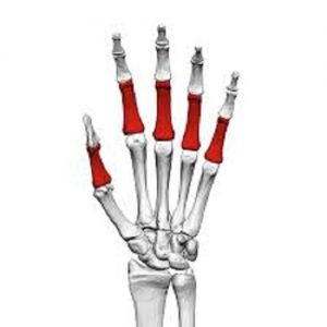 Phalanges function