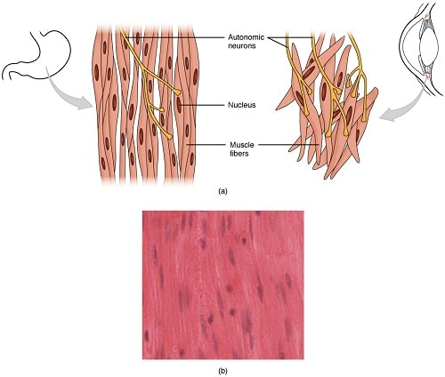 Cardiac muscle tissue function